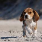 beagle-w