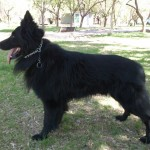 pastor-ovejero-belga-negros-pelo-largo-puros_97654071606358654