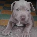 pitbull-american-stanford-blue-nose-silver-7949-MCO5293716574_102013-O