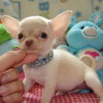 blanco-y-negro-chihuahua-cachorros-para-adopcion-1_1