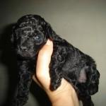 caniche-hembra-mini-toy-negra-azabache_MLA-F-3322465590_102012